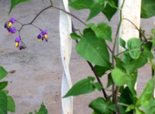 Climbing Vine Purple Flowers With A