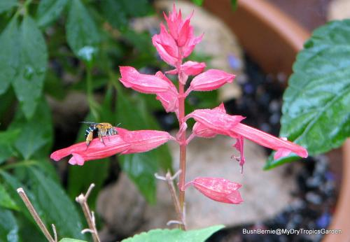 native Australian Blue-banded Bee