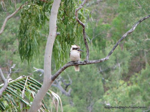 Kookaburra sitting in a gum tree
