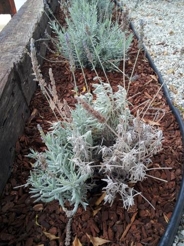 Dying Lavender Plant Garden Design Ideas