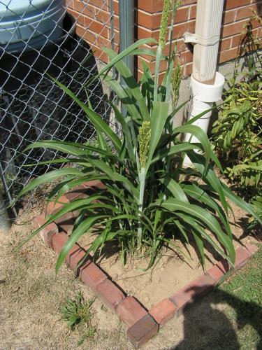 Growing Proso Millet (aka White Proso) from Bird Seed