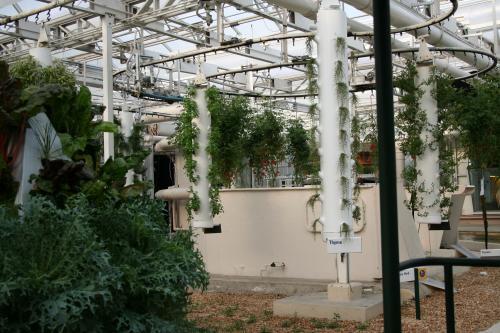 how to grow cantaloupe vertically